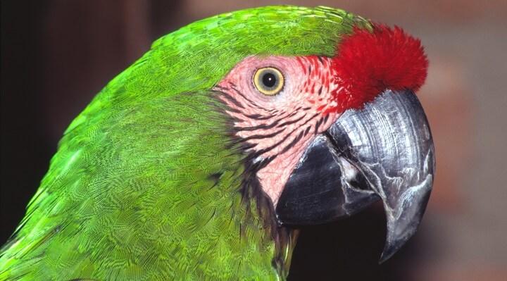 guacamayo verde