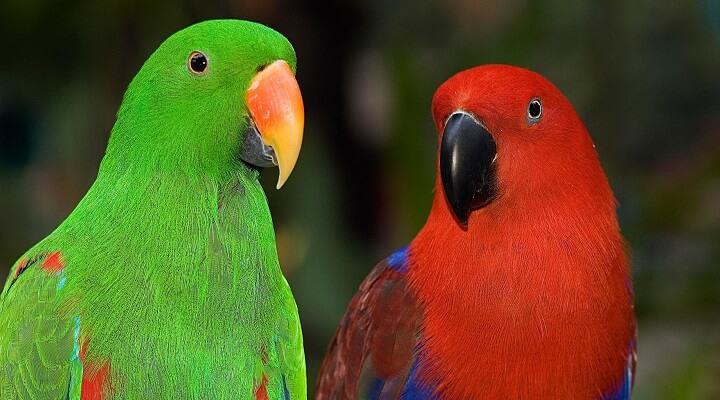Papagaio-ecletus